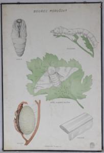 náhled knihy - starý školní plakát: Bourec Morušový
